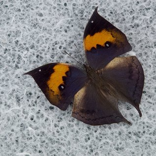 Dead Leaf Butterfly, China