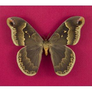 Sweetbay Moth, FL, USA, captively bred