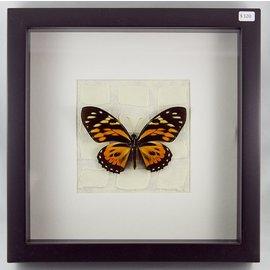 Papilio zagreus, Peru