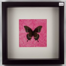 Spice Bush Swallowtail (verso), USA