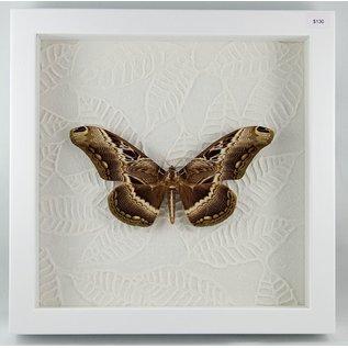 Drury's Owl Moth, Cameroon