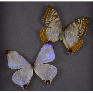 Sulkowsky's Morpho ♂ and ♀, Peru