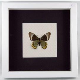 Madyes swallowtail (verso), Peru