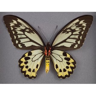 Wallace's Golden Birdwing ♀ (verso), Indonesia