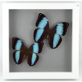 Blue Morphos, Peru