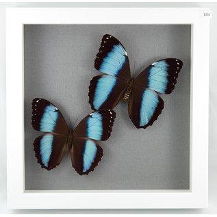 Blue Morphos, Peru