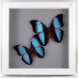 Blue Morphos/ Deidamia Morphos, Peru