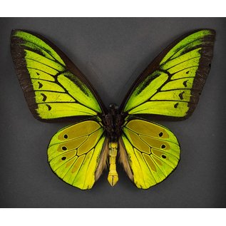 Goliath Birdwing, Indonesia