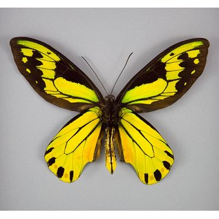 Queen Victoria Birdwing (verso), PNG