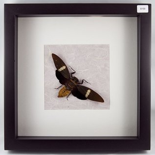 Cicada, Indonesia