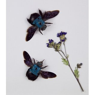 Blue Carpenter Bees, Indonesia