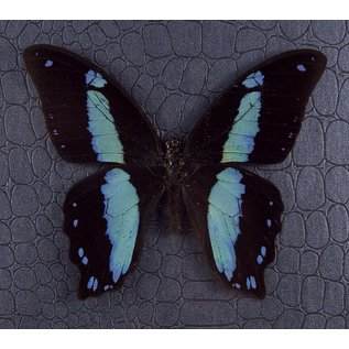 Green-Banded Swallowtail ♂, Republic of Central Africa