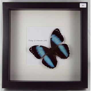 Achilles Morpho/Blue Morpho ♂, Peru
