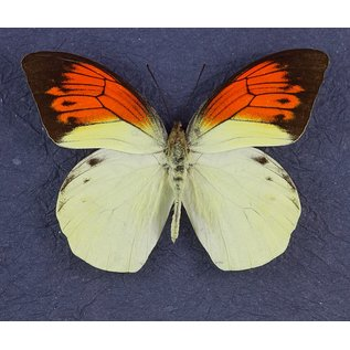 Great Orange Tip Butterfly, Indonesia