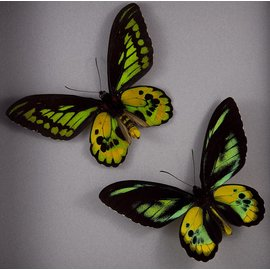 Ornithoptera and Trogonoptera Ornithoptera rothschildi PAIR A1 Indonesia