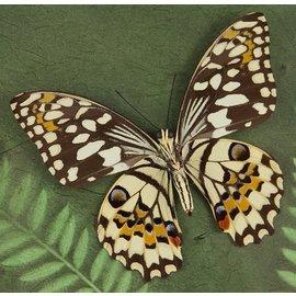 Papilionidae Papilio demoleus M A1- Sri Lanka a.o.