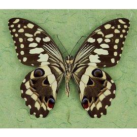 Papilionidae Papilio demodocus M A1- RCA