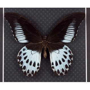 Papilionidae Papilio polymnestor polymnestor M A2 India
