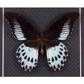 Papilionidae Papilio polymnestor polymnestor F A1 India