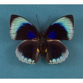 Nymphalidae Agrias beatifica beata (staudingeri) M A1 Peru