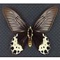 Papilionidae Atrophaneura priapus priapus M A1 Indonesia