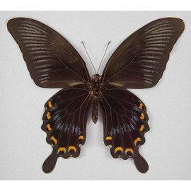Papilionidae Papilio ascalaphus M A1 Indonesia