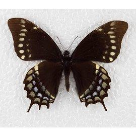 Papilionidae Papilio warscewiczii mercedes M A1 Peru
