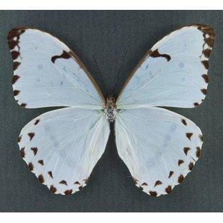 Morphidae Morpho catenarius M A1 Brazil