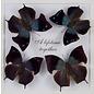 Butterflies Memphis MIX - 5M - A1 Bolivia