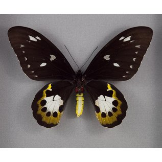 Tithonus Birdwing ♀ (verso), Indonesia