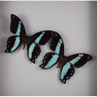 Green-Banded Swallowtail 2x ♂, Republic of Central Africa
