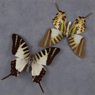 Five-bar Swordtail (recto/verso), Philippines