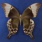 Papilio peranthus, Indonesia