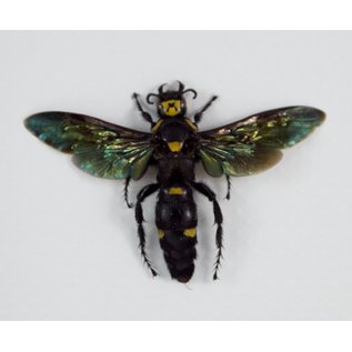 Giant Scoliid Wasp, Indonesia