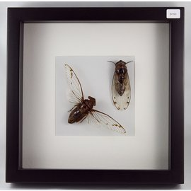 Cicadas, Indonesia