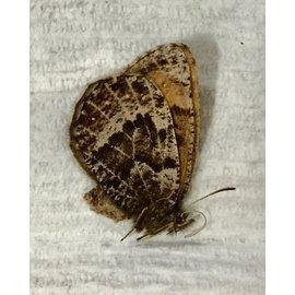 Satyridae Oeneis taygete edwardsi PAIR A1 Canada