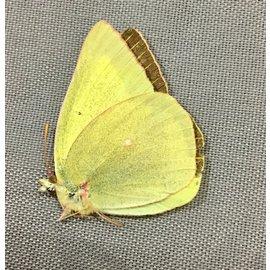 Pieridae Colias alexandria alexandria M A1 Canada