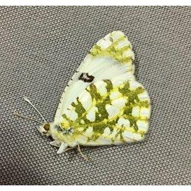 Pieridae Euchloe ausonides mayi M A1 Canada