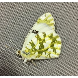 Pieridae Euchloe ausonides mayi PAIR A1 Canada