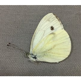 Pieridae Pieris rapae M A1 Canada