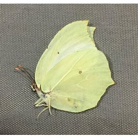 Pieridae Gonopteryx mahaguru aspasia M A1 South Korea