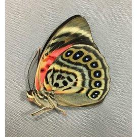 Nymphalidae Agrias claudina lugens F A1 Peru