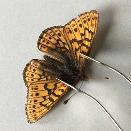 Nymphalidae Boloria astarte astarte F A1- Canada