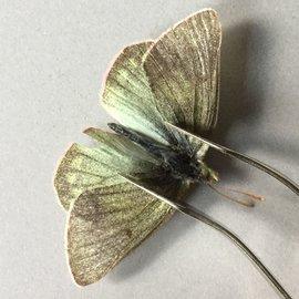 Pieridae Colias nastes streckeri PAIR A1 Canada
