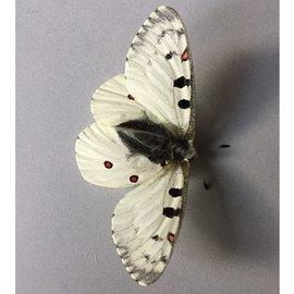 Papilionidae Parnassius smintheus smintheus M A1 Canada