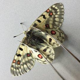 Papilionidae Parnassius phoebus smintheus F A1 Canada