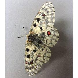 Papilionidae Parnassius phoebus smintheus PAIR A1 Canada