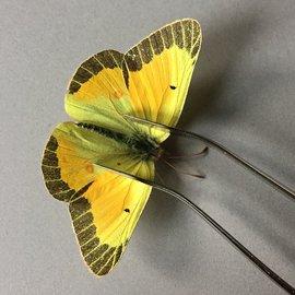 Pieridae Colias christina christina M A3 Canada