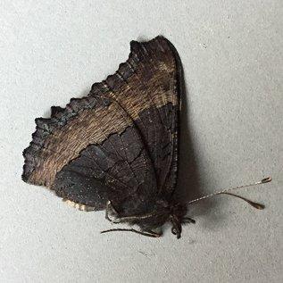 Nymphalidae Roddia (Nymphalis) milberti furcillata M A1- Canada