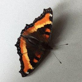 Nymphalidae Roddia (Nymphalis) milberti furcillata PAIR A1- Canada